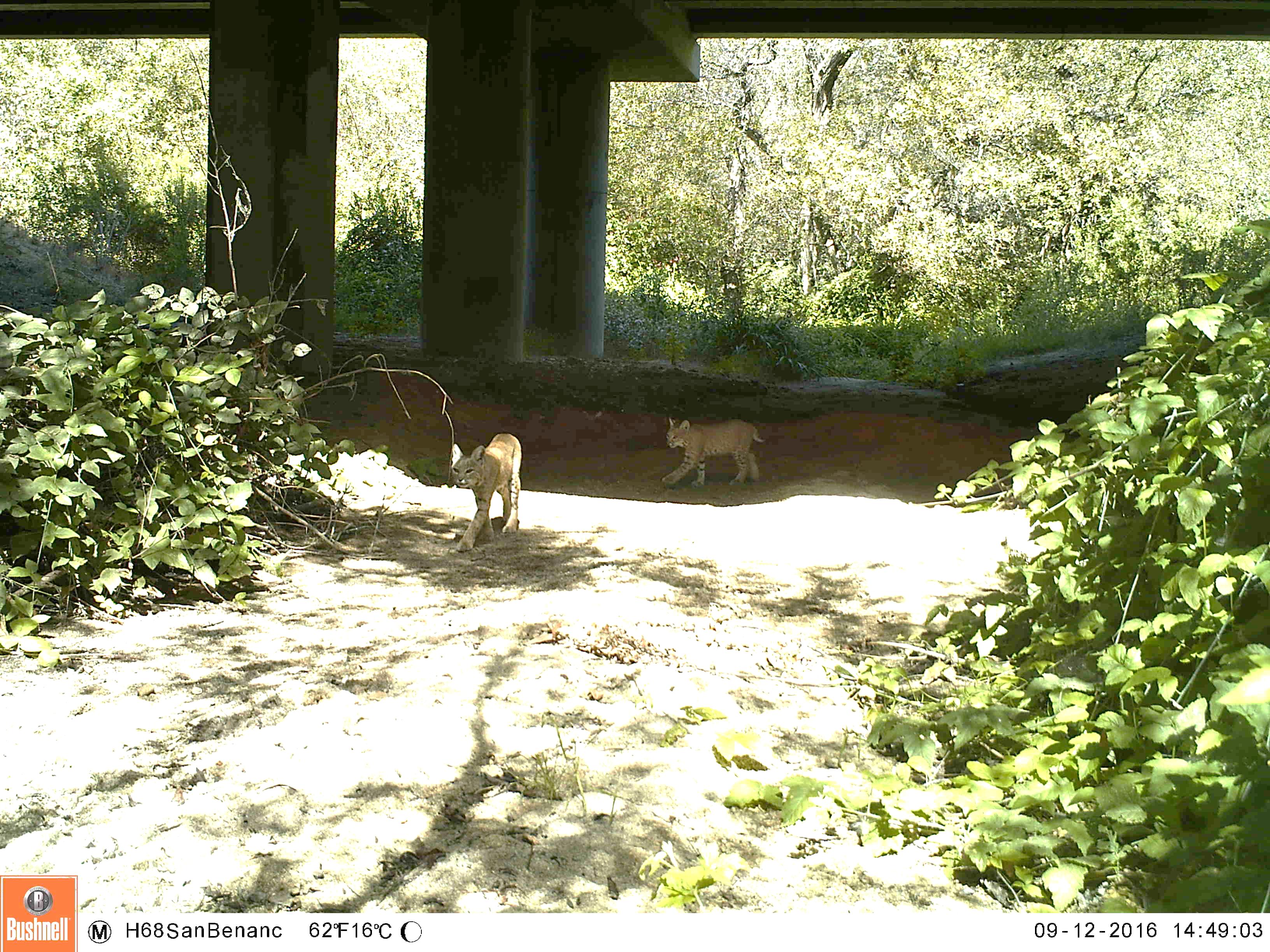 3b San Benancio Bobcat & Kitten
