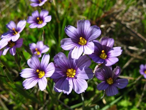 4-12 - Blue Eyed Grass - C.Hutnik - APR-7-2008 - 7-1
