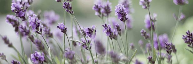 8 - Lavender - Canva