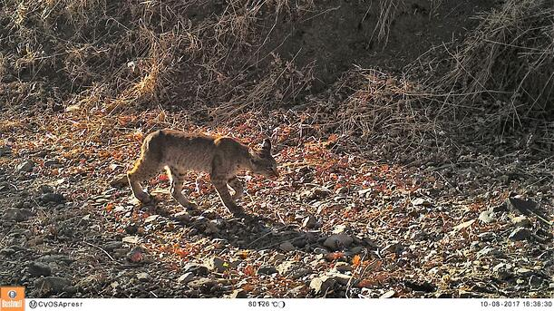 Bobcat at Coyote Valley Open Space Preserve on 10-8-17_preview