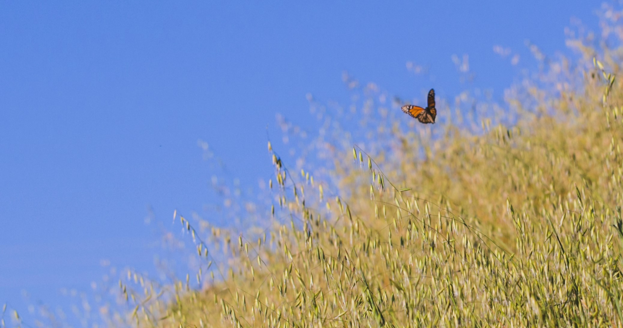 Monarch butterfly flying over golden grass under blue sky