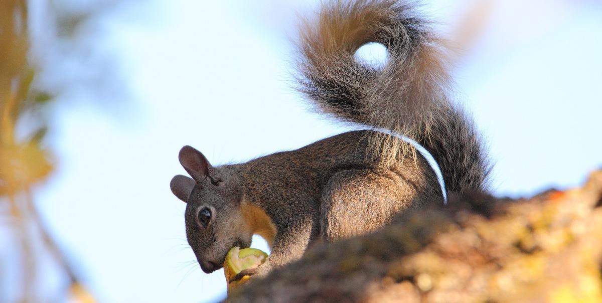 CVAL - Squirrel eating buckeye - D-Mauk - Aug-31-2018-5-1