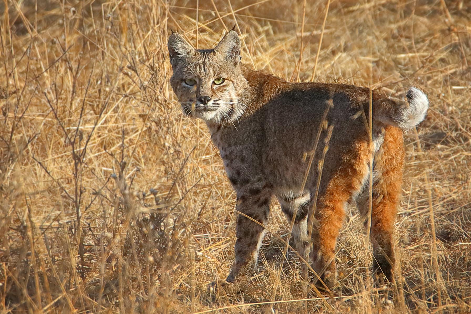 David Mauk Bobcat Oct 2020