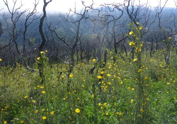 Dendromecon rigida (Bush poppy)_P1090121