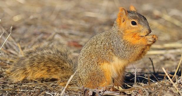 Fox Squirrel - D-Mauk-1