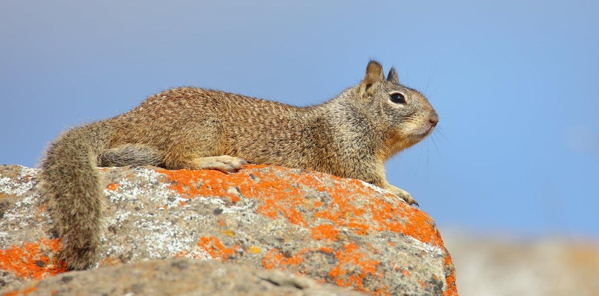 Ground Squirrel - D-Mauk - 2021-01-31-1