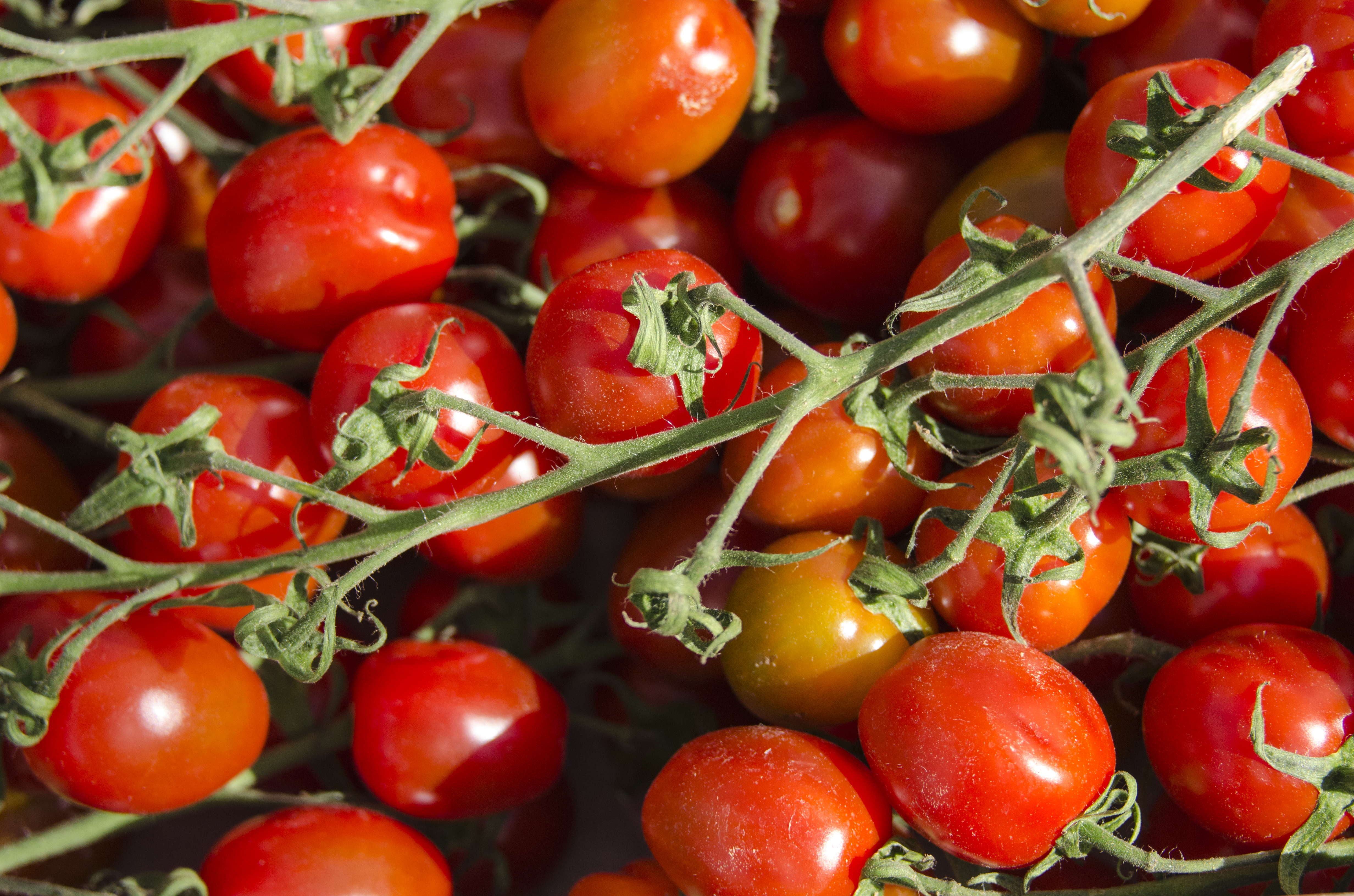 Horiz Tomatoes - JP - 12-05-2013