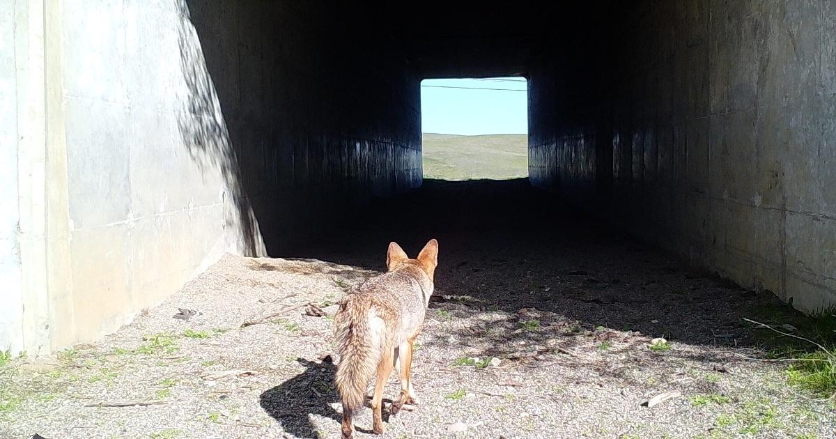 Hwy 156 Site 3 Coyote 12-27-18-1