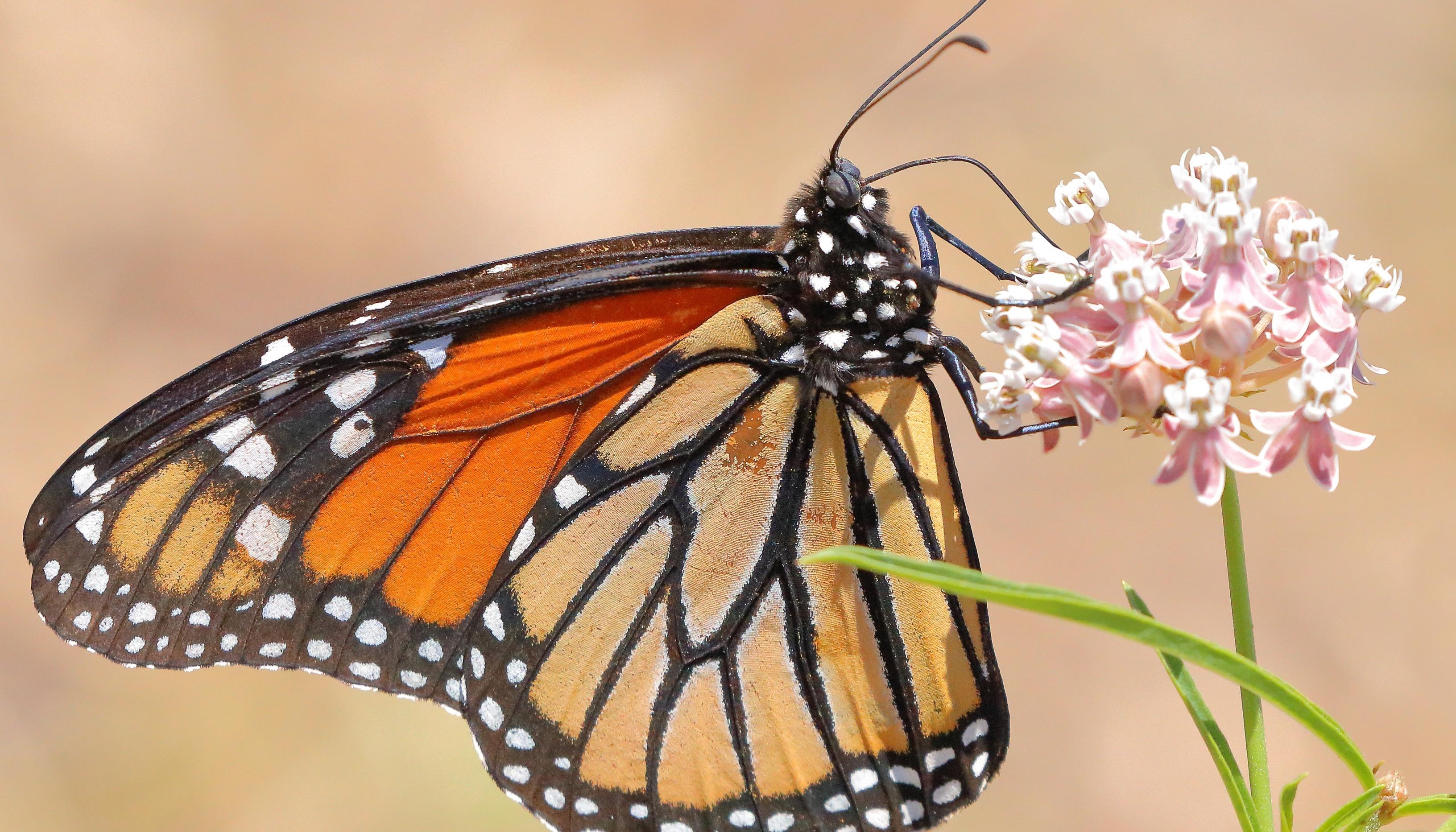 Monarch Butterfly - D-Mauk - 2021-06 - 2