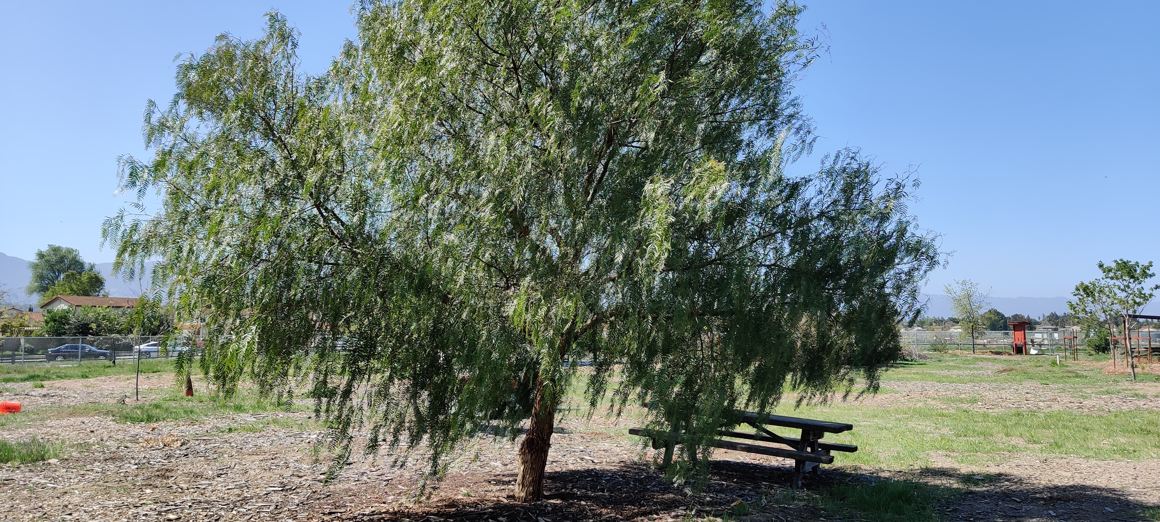 Large tree with picnic table in the shade