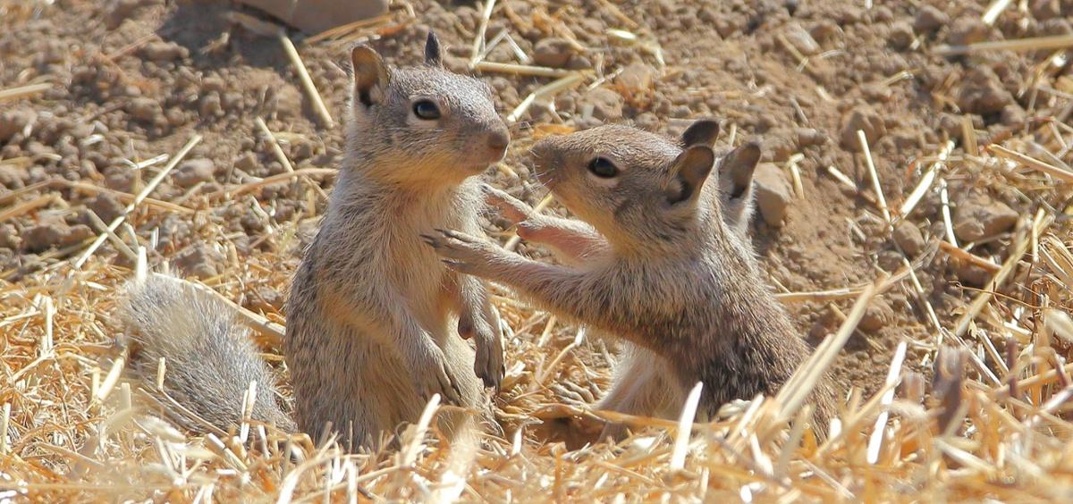 SVIS - Ground Squirrels - D-Mauk - 2020-06-30 - 1-1