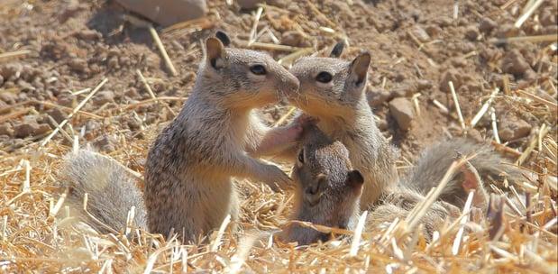SVIS - Ground Squirrels - D-Mauk - 2020-06-30 - 5