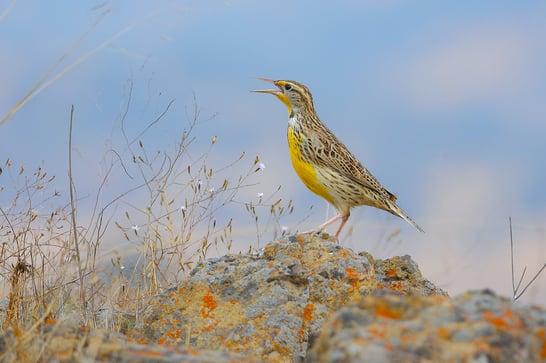Western Meadowlark perched on top of rock