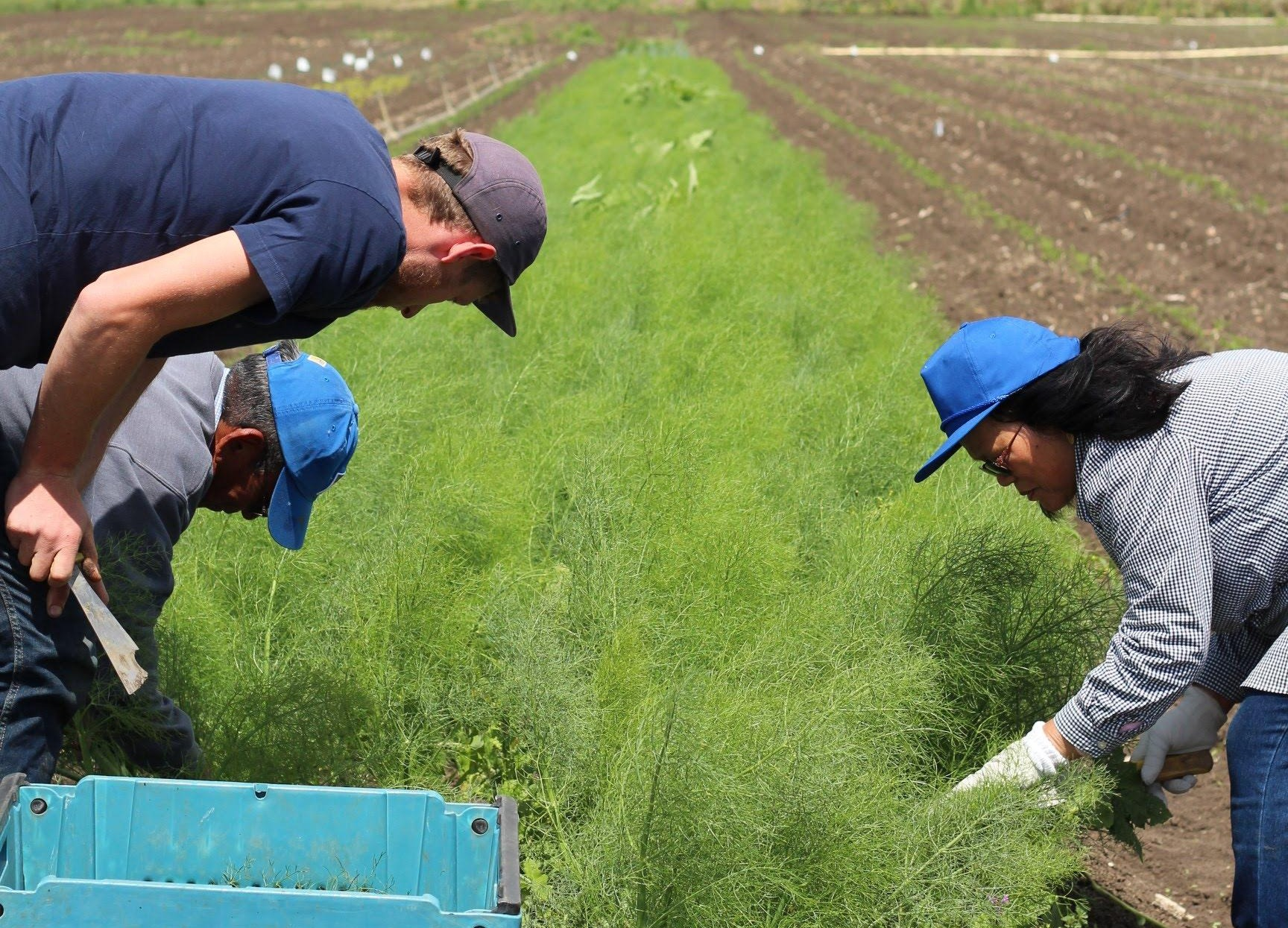 Sam and workers fennel harvest