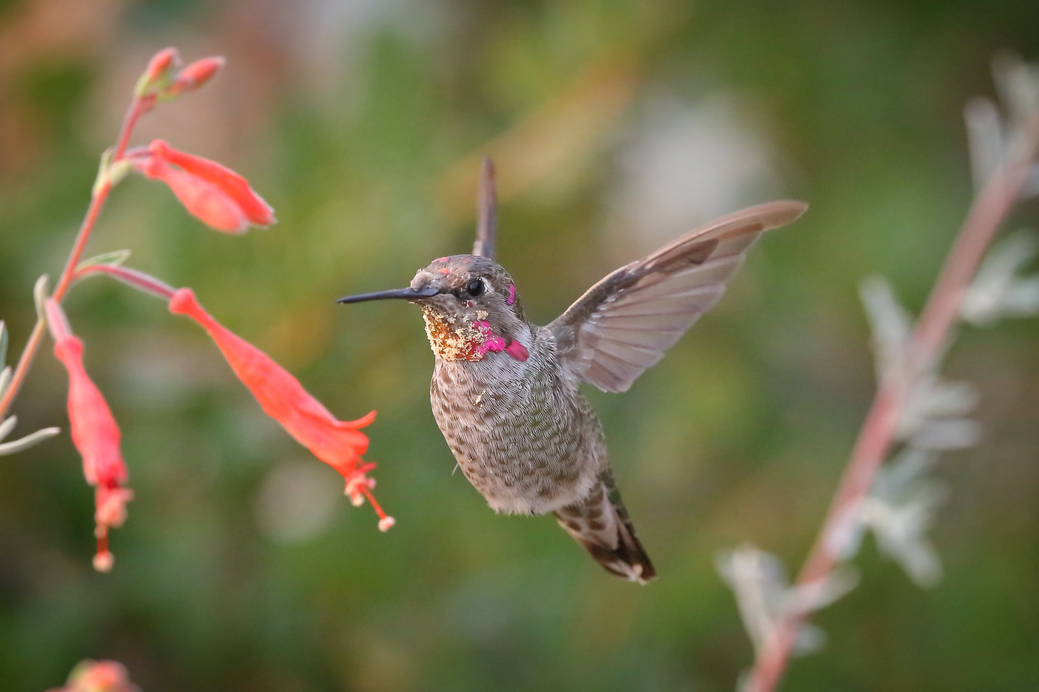 Ulistac - Annas Hummingbird - D.Mauk - 2020-08-31 - 6
