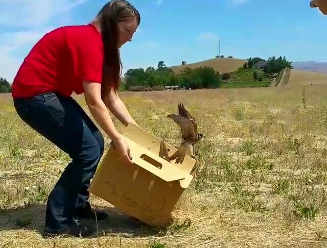 kestrel release