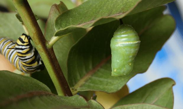 monarch chrisalis