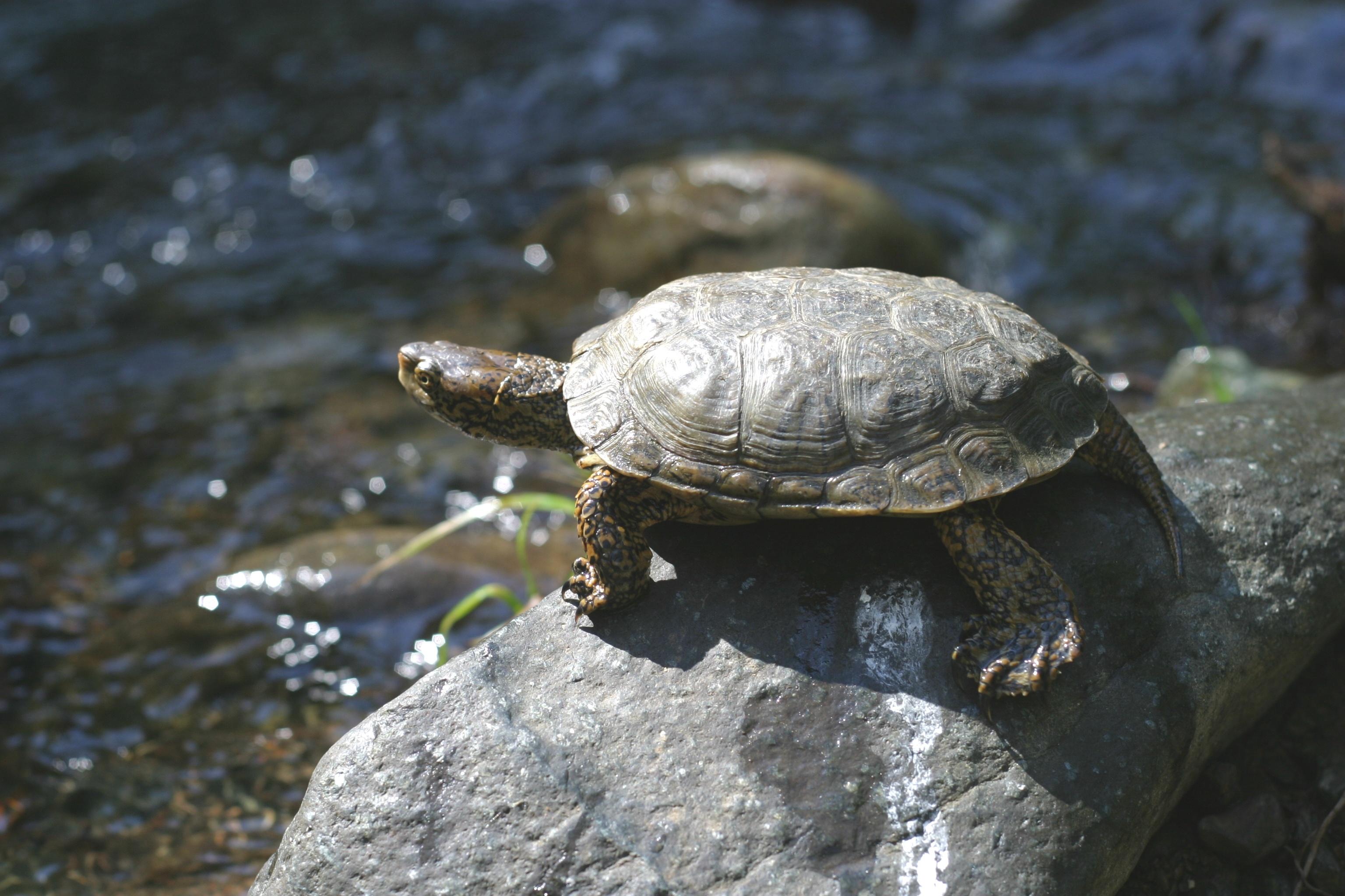 pond_turtle_RCDO_April_2012