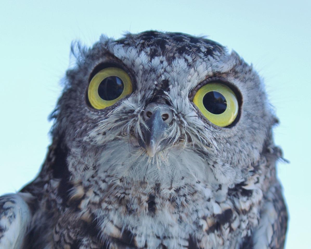 screech owl werc
