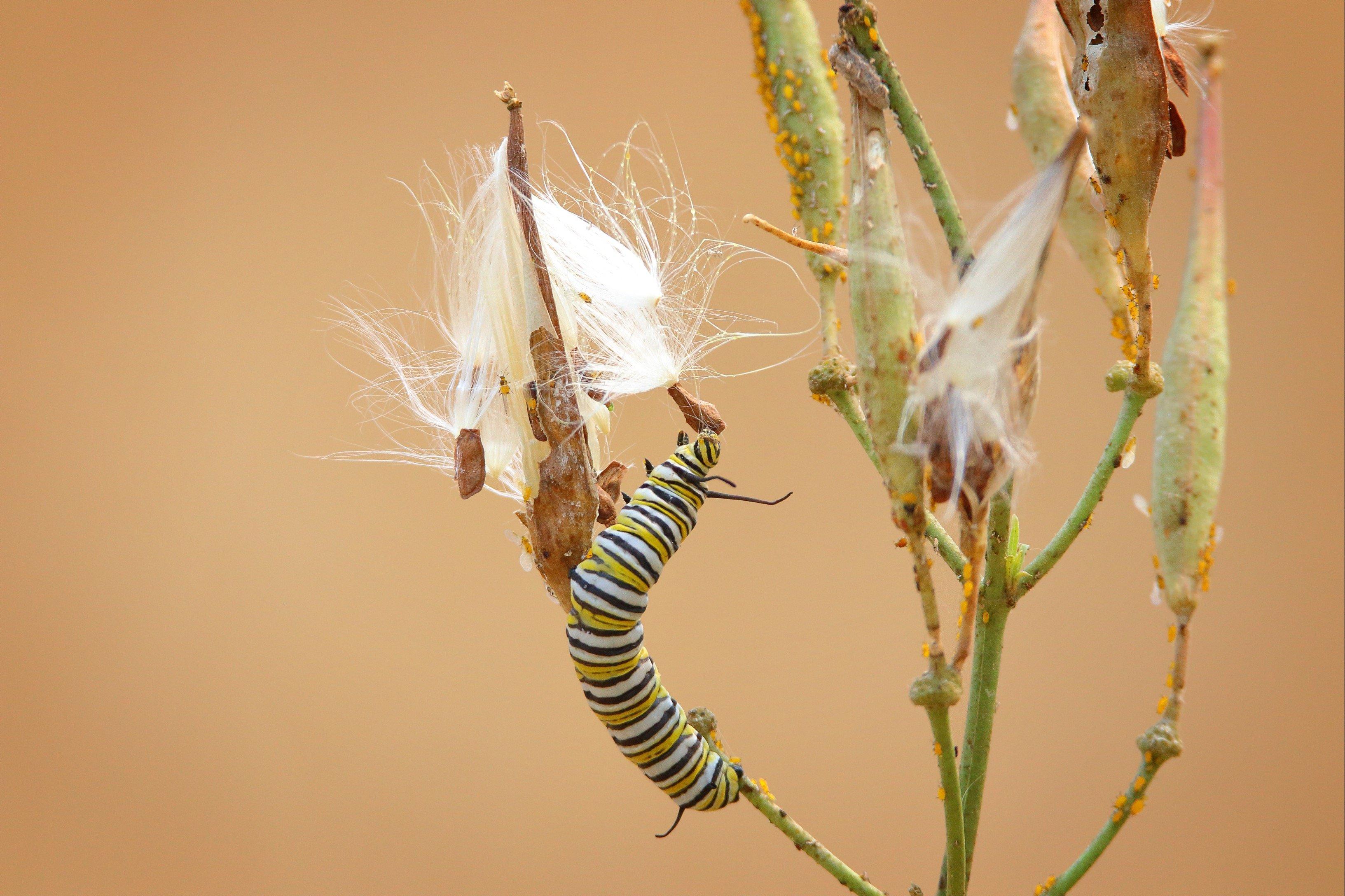 Monarch Caterpillar on milkweed plant