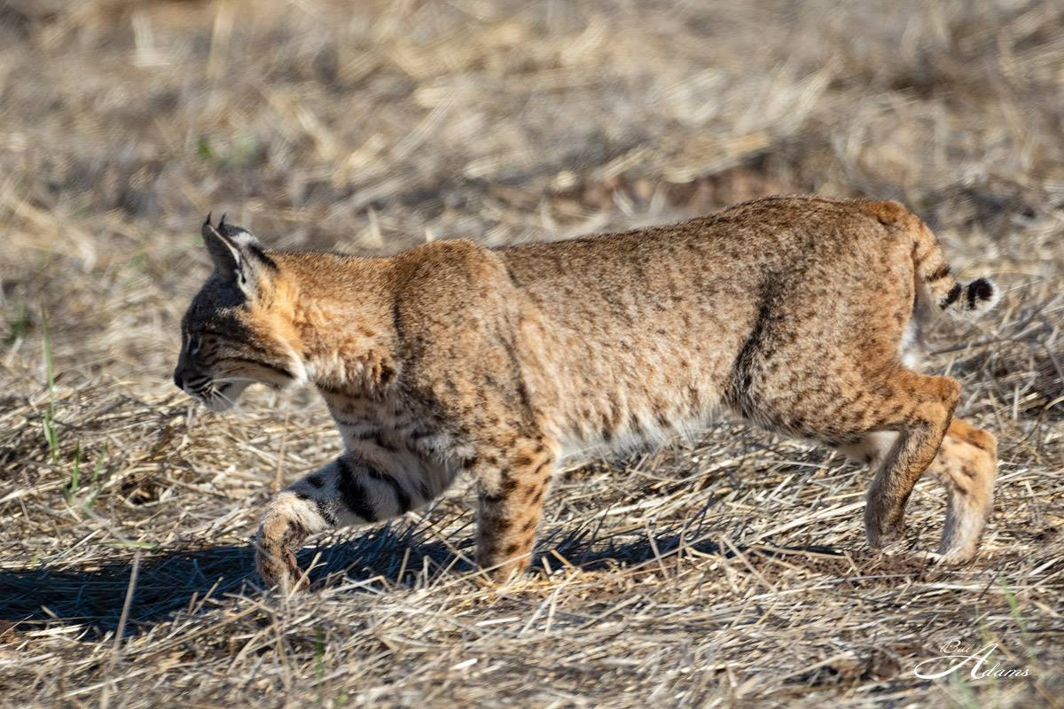 CVAL- Bobcat - Bill Adams - 11-25-19