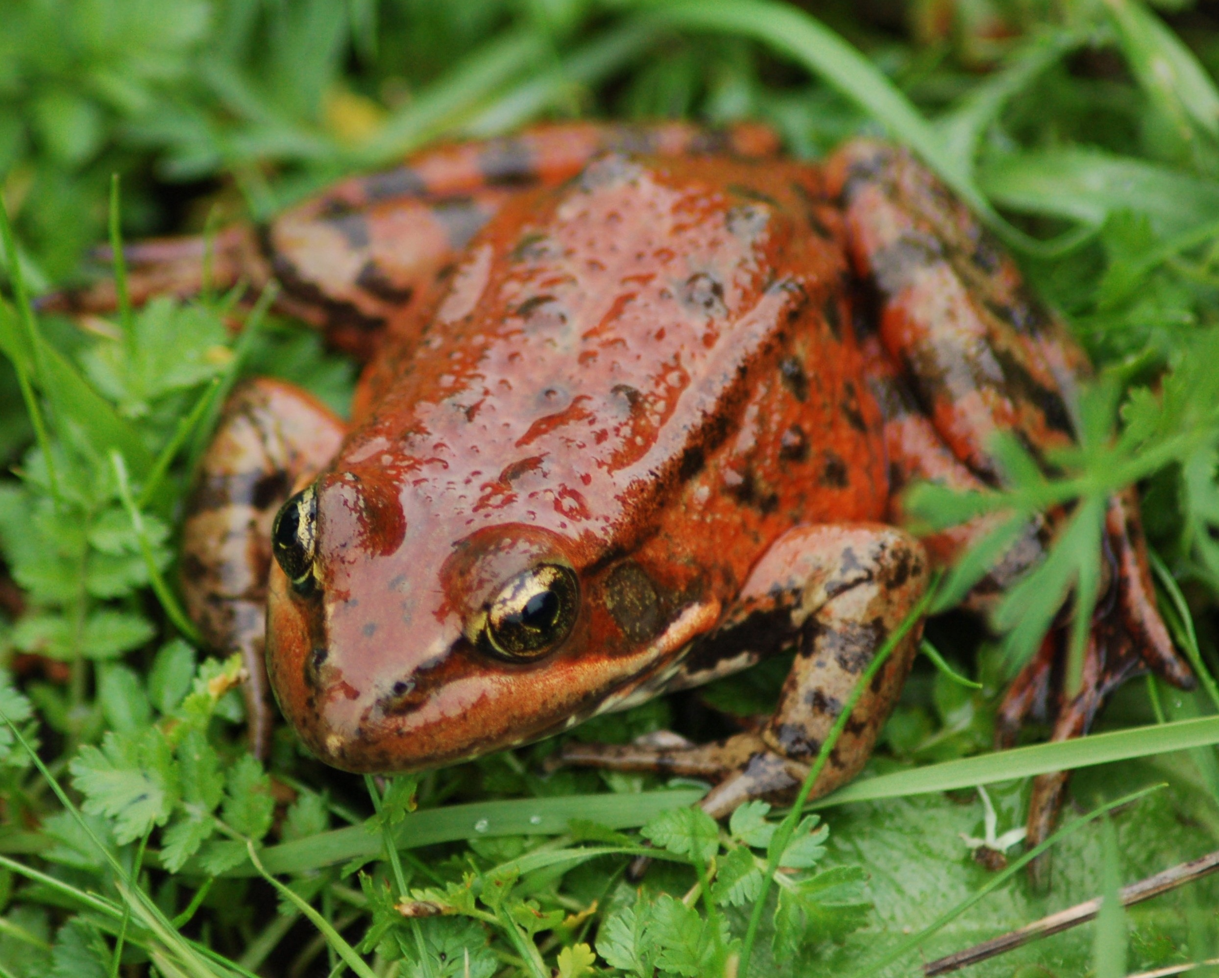 Rana-Draytonii-California-Red-legged-Frog-456954-edited
