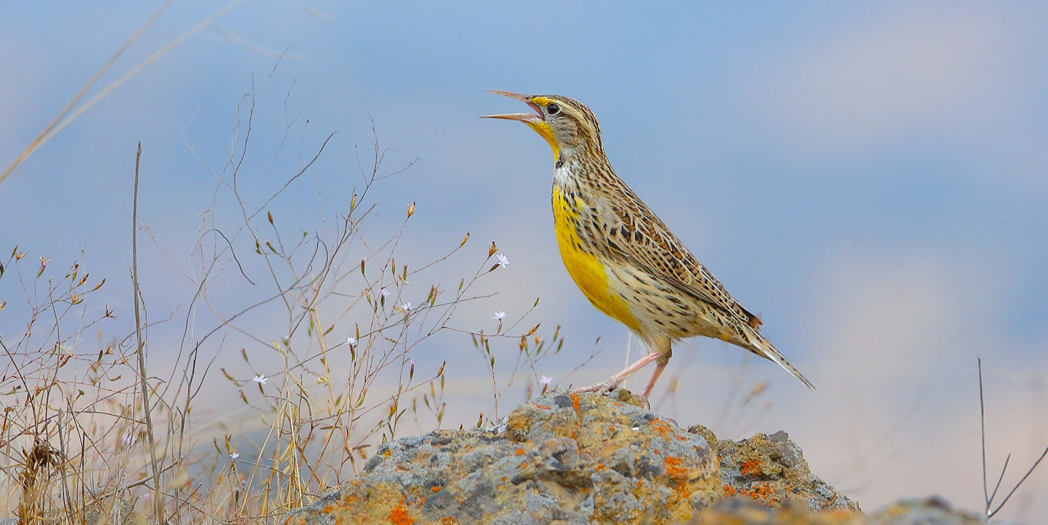 Meadowlark singing on top of rock